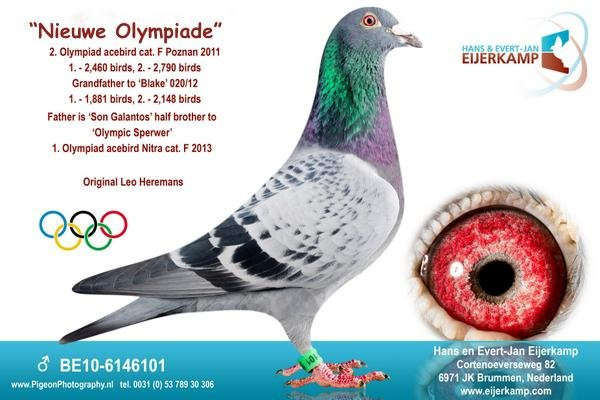 New Olympic Girl 1st Nat. Ace Middle Distance Pigeon in Portugal