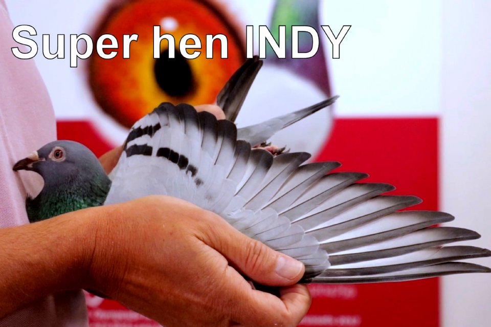 Introduction fantastic racer and breeding hen INDY