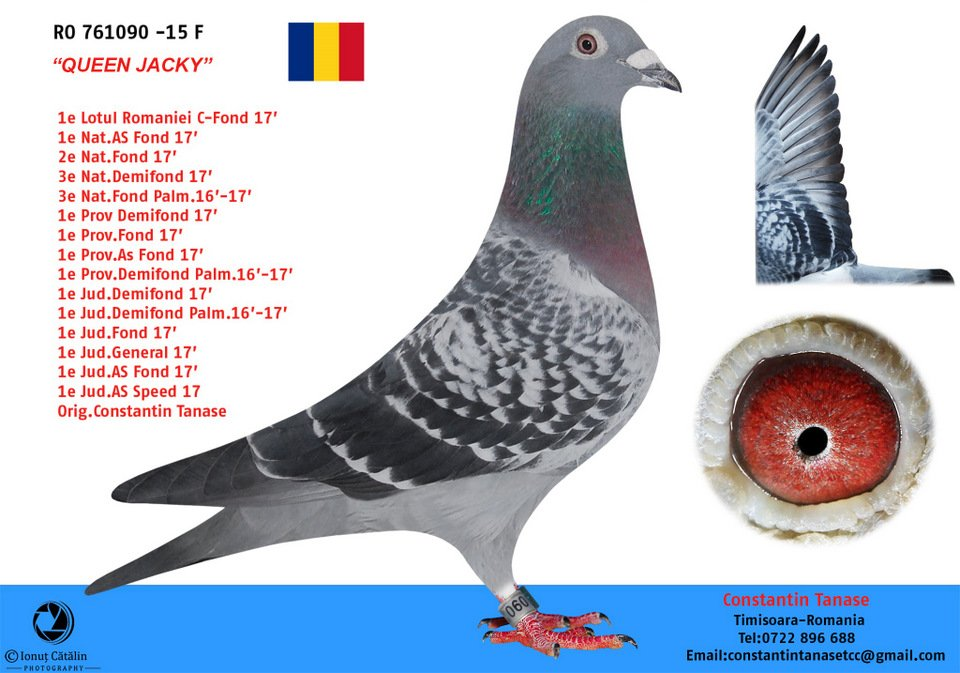 1st National Ace Pigeon Long Distance 2017 FNCPR in Romania. Mother is direct Eijerkamp pigeon