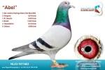 Vierde winnaar jonge duif met bieden