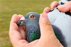 Victor wins NPO Chateauroux(670km) against 3,794 pigeons