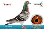 Racing pigeon for sale Bianca