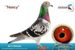 Racing pigeon for sale Nancy