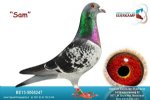 Racing pigeon for sale Sam