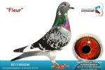 Racing pigeon for sale Fleur