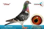 Racing pigeon for sale Chloe