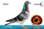 Racing pigeon for sale Glen