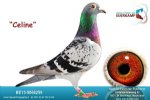 Racing pigeon for sale Celine