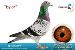 Racing pigeon for sale Dylon