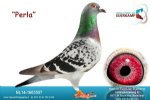 Racing pigeon for sale Perla