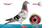 Racing pigeon for sale Harper
