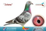 Racing pigeon for sale Jolene
