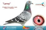 Racing pigeon for sale Leroy