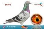 Racing pigeon for sale Steve