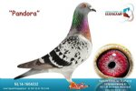 Racing pigeon for sale Pandora