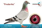 Racing pigeon for sale Frederika