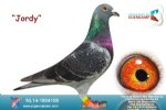 Racing pigeon for sale Jordy