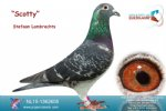 Racing pigeon for sale Scotty