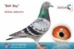 Racing pigeon for sale Bolt Boy