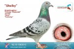 Racing Pigeon for Sale Shelby