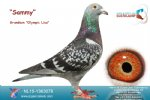 Racing pigeon for sale Sammy