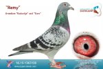 Racing pigeon for sale Remy