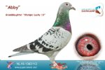 Racing pigeon for sale Abby