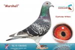 Racing pigeon for sale Marshall