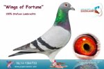 Racing pigeon for sale Wings of Fortune
