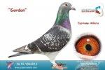 Racing pigeon for sale Gordon