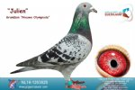 Racing pigeon for sale Julien