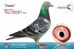 Racing pigeon for sale Josue