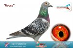 Racing pigeon for sale Rocco