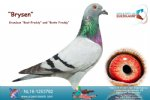 Racing pigeon for sale Brysen