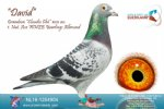 Racing pigeon for sale David