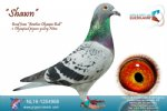 Racing pigeon for sale Shawn