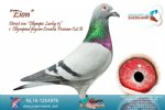 Racing pigeon for sale Eion