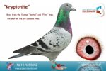 Racing pigeon for sale Kryptonite