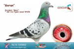 Racing pigeon for sale Goran