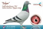 Racing pigeon for sale Edgar