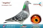 Racing pigeon for sale Angelina
