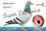 Racing pigeon for sale Golden Euro