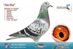 Racing pigeon for sale Cecelia