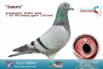 Racing pigeon for sale Samira