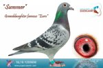Racing pigeon for sale Summer