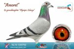 Racing pigeon for sale Amoret