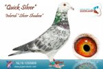 Racing pigeon for sale Quick Silver