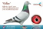 Racing Pigeon for Sale Killian