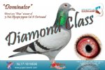 Racing pigeon for sale Dominator