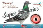 Racing pigeon for sale Damarys